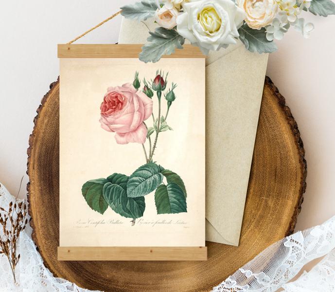 Sienas dekors, plakāts - Vintage Rosa-centifolia-Redoute